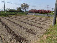 デラウエア栽培作業の様子